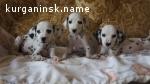 Высокопородные щенки из питомника